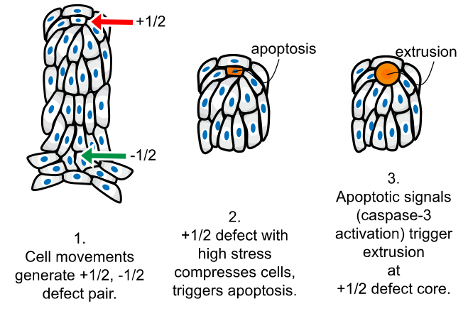 The emergence of topological defects lead to cell death and extrusion